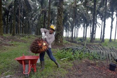 Ini Daftar Harga TBS Sawit Riau, Kenaikan Tertinggi Usia 10-20 Tahun