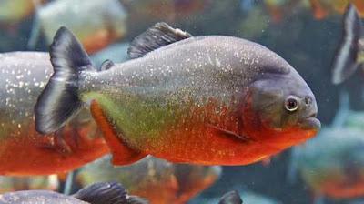 Ikan Piranha Sungai Amazon