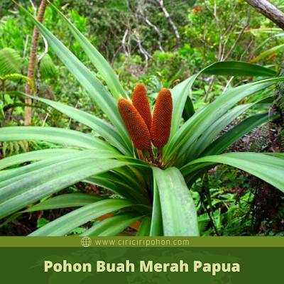Pohon Buah Merah Papua