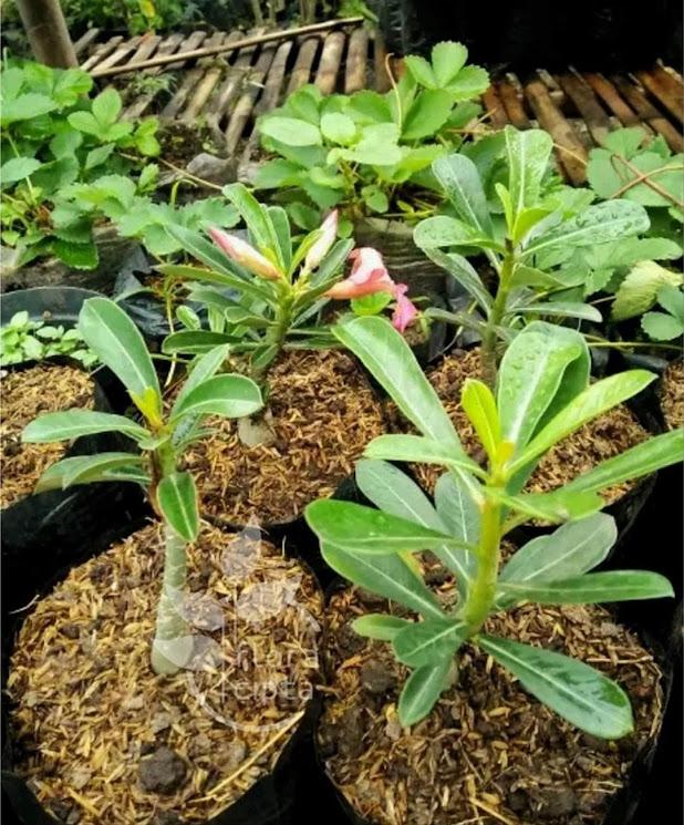 Adenium Red Rose bibit adenium Pohon Kamboja bibit bonsai Stock Ready Kota Administrasi Jakarta Utara