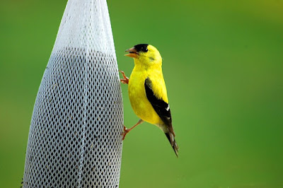 Photo of an American Goldfinch eating from a thistle sock feeder