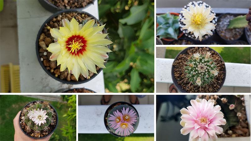 ดอกของแคคตัสชนิดต่างๆ