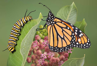 Sci/Why: Help Save the Monarch Butterfly!