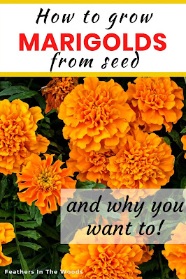 Marigolds growing from seed