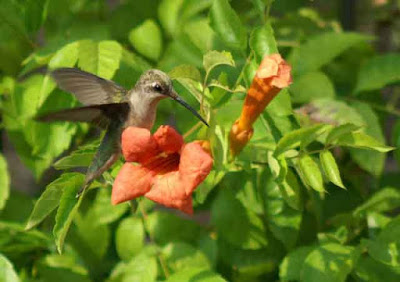 Hummingbird with Trumpet Vine