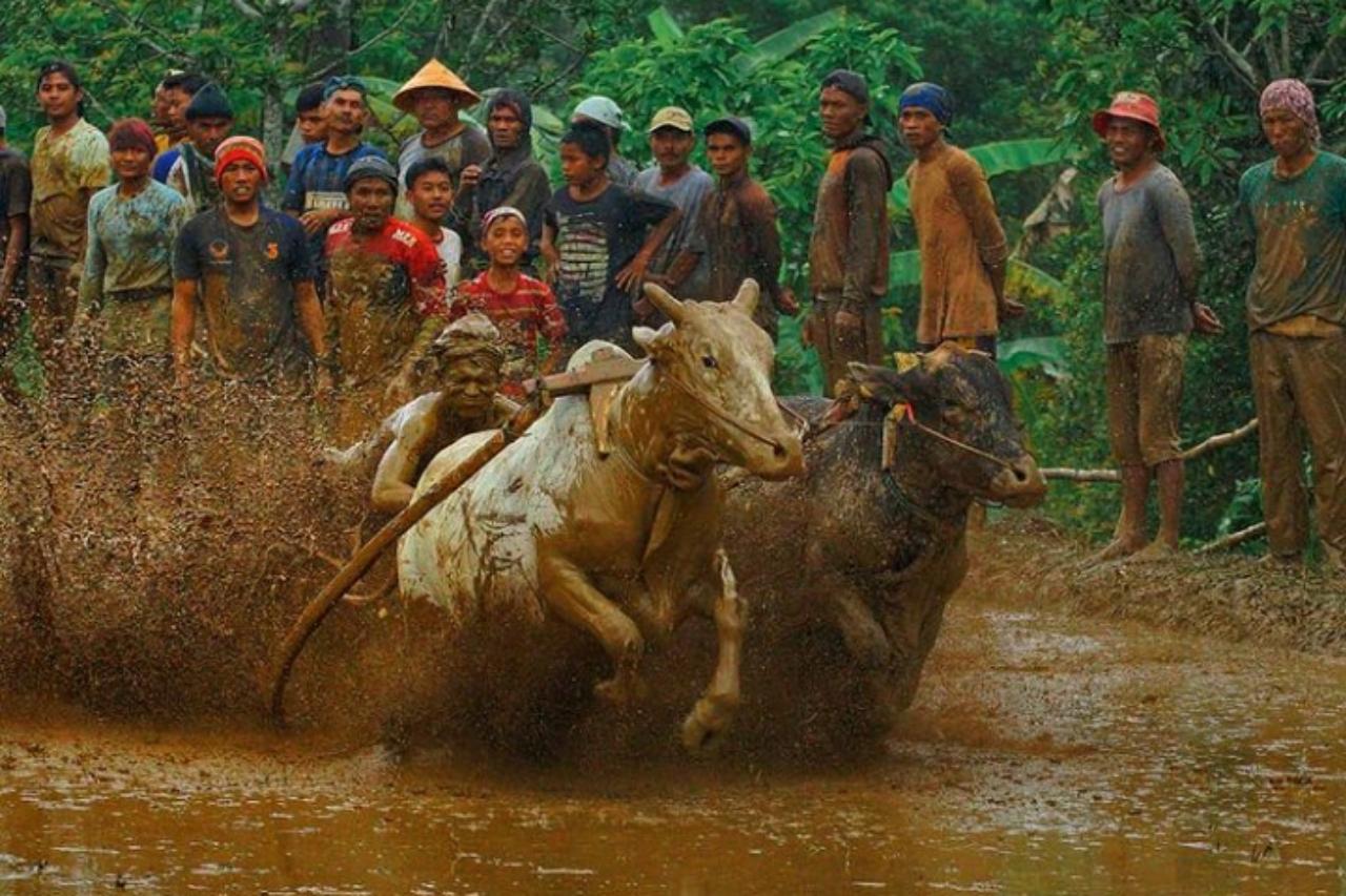 tradisi Pacu Jawi sumbar
