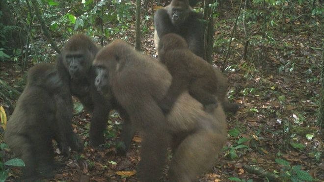 Gorillas in Nigeria: World's rarest great ape pictured with babies