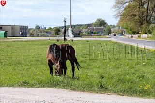 Лошадь в Жуковщине