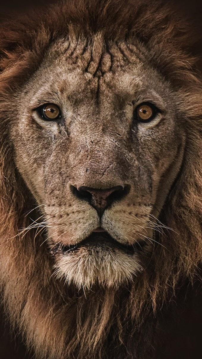 Rosto de Leão apel de Parede Tumblr Celular