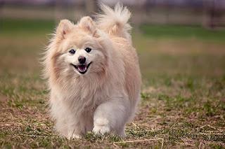 Jenis Anjing Pomeranian