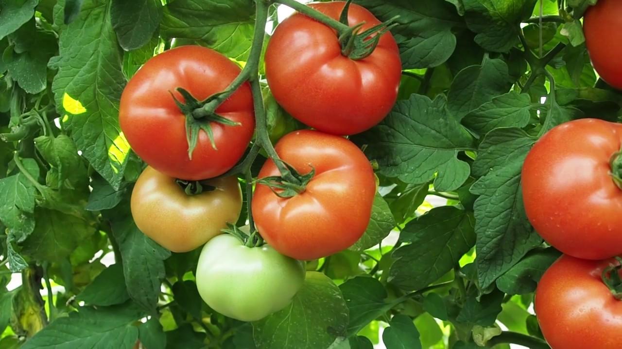 Manfaat tanaman tomat, serta resikonya jika dikomsumsi secara berlebihan