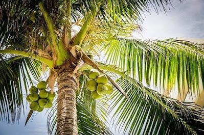 buah, daun, dan pohon kelapa