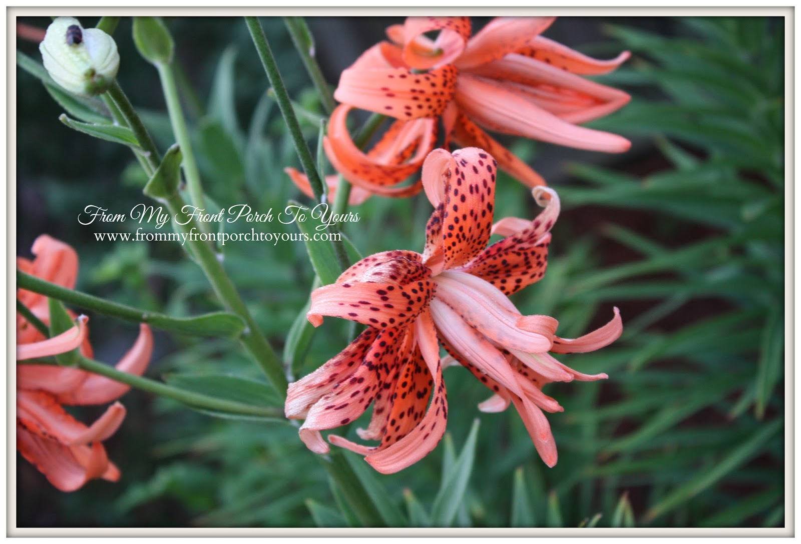 From My Front Porch To Yours- Flower Garden Dragon Lillie