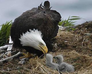 The Bald Eagle's Nesting Period