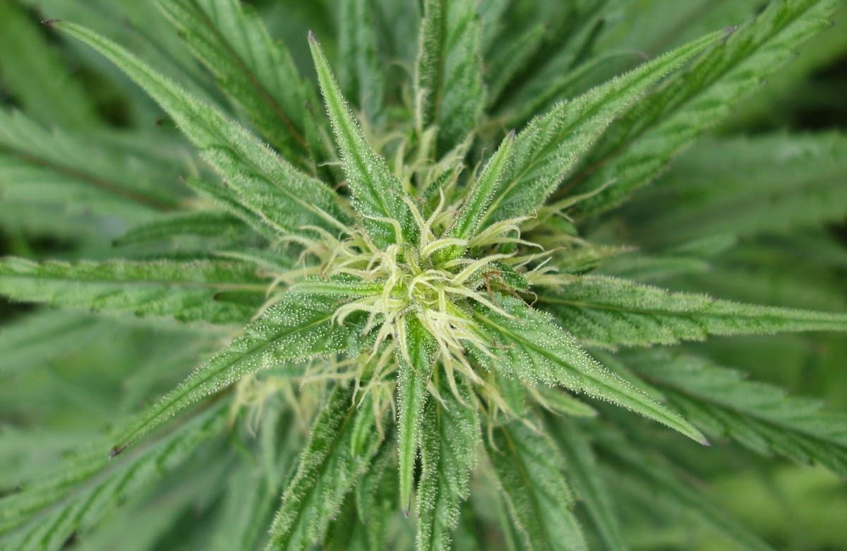 marijuana-illegale
