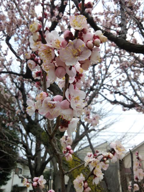 羽根木公園で咲いている梅の花です。毎年、梅まつりが開催されます。