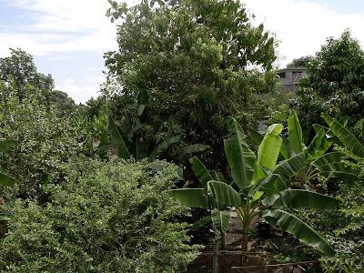 Baracoa, Kuba, Garten mit Bananenstauden und Obstbäumen, sehr grün.