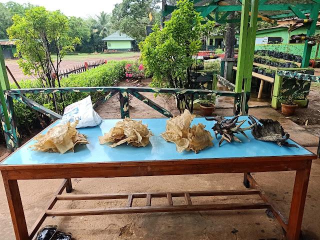 Satgas Pamtas RI-PNG Yonif 411 Kostrad Amankan Gelembung Ikan dan Tanduk Rusa Ilegal