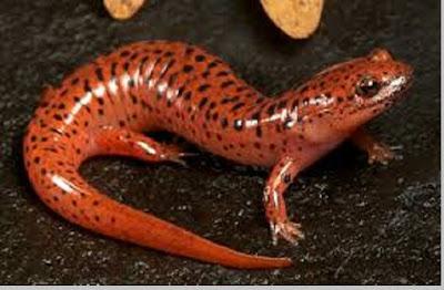 Salamander (Arodela) - berbagaireviews.com