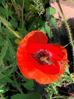Red poppy with four bees on it