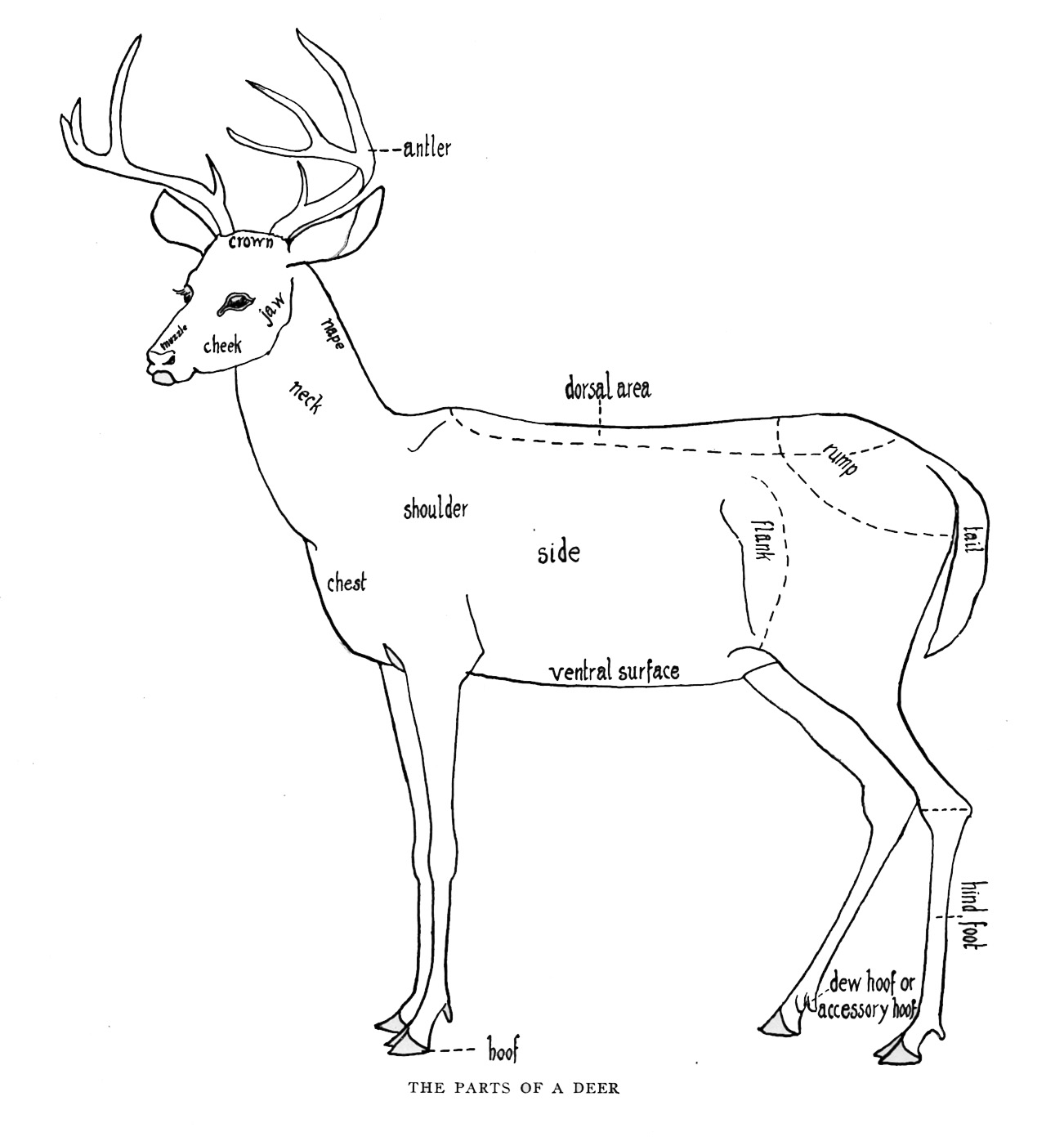 Deer Skeleton Diagram Triumph Tr6 Wiring Body Parts Pictures To Pin On Pinterest Pinsdaddy