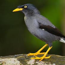 Harga Burung Jalak Kebo Terbaru 2018