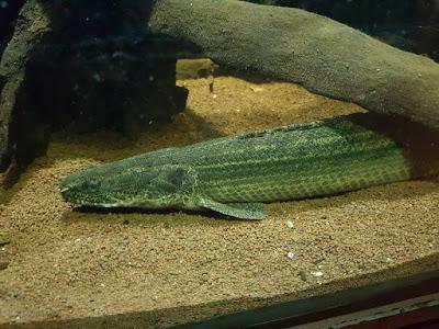 Palmas Lapradei ( Polypterus bichir )