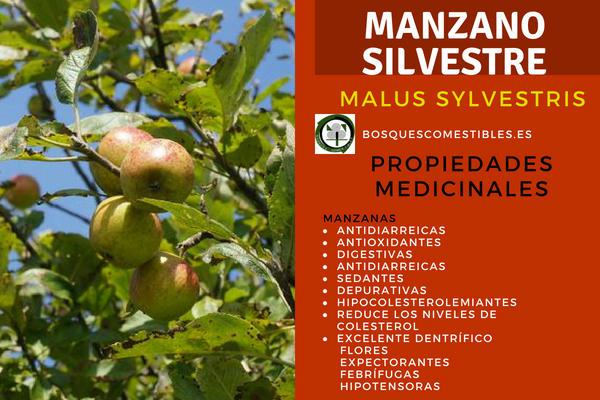 Manzano Silvestre, Malus sylvestris, Propiedades Medicinales: Antioxidantes, digestivas, depurativas, etc.