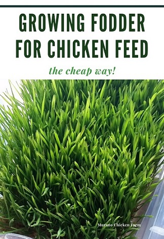 Low cost chicken fodder growing system.