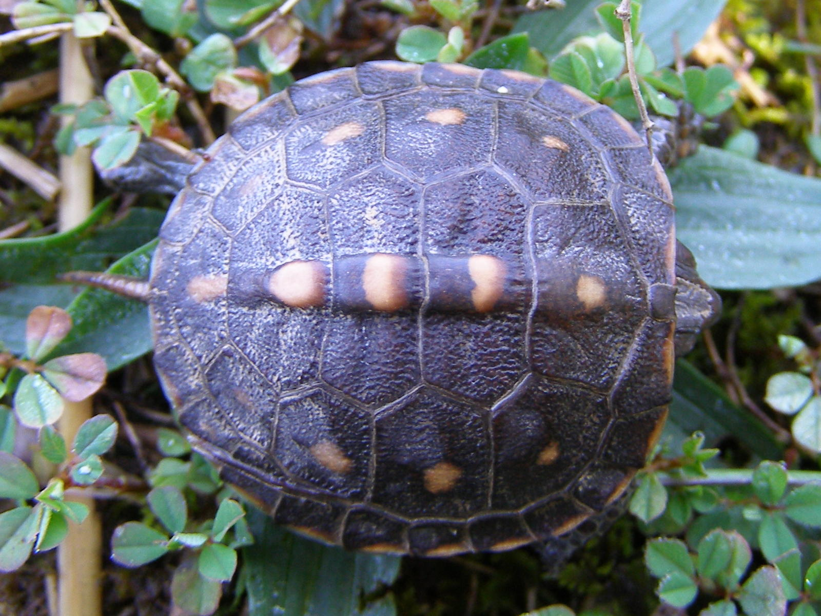 Blue baby turtles - photo#15