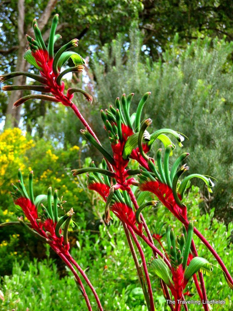The Travelling Lindfields: Wildflowers in Western Australia: Kings