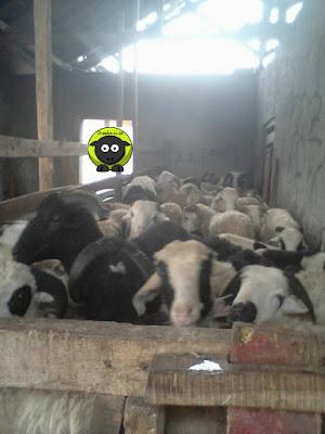 Domba Dan Kambing Qurban Jember Kualitas Terbaik