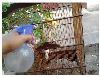 Memandikan burung pakai sprayer
