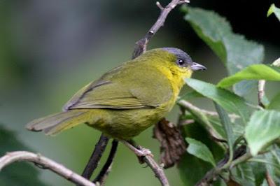 Kleinothraupis reyi