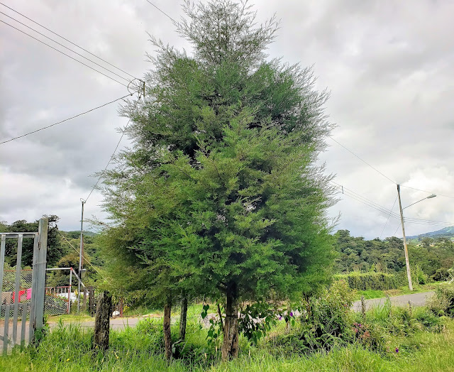 cupressaceae cupresus lusitanica tree costa rica