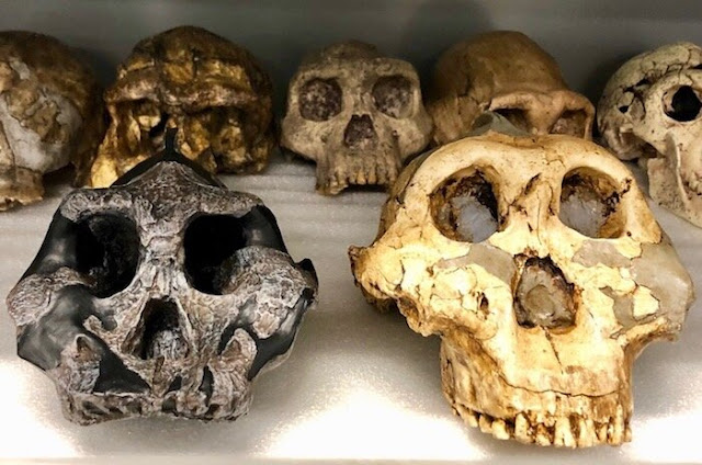 Researchers use fossilized teeth to reveal dietary shifts in ancient herbivores and hominins