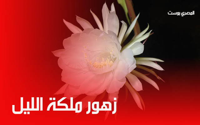 زهور ملكة الليل - أجمل ورورد - صور ورد