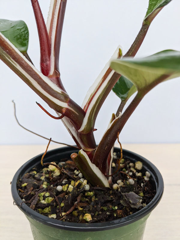 Closeup of the purple-burgundy stem of a Philodendron White Knight