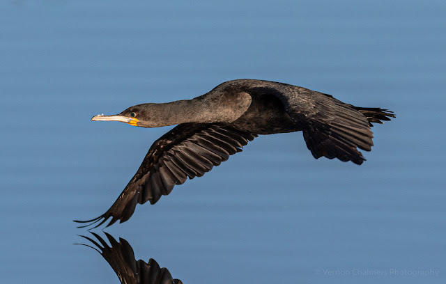 Cape Cormorant Diep River Milnerton Woodbridge Island