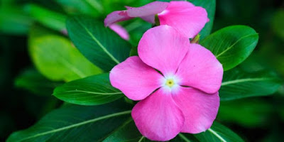 Cara Memperbanyak Bunga Vinca Dengan Stek Dan Cara Perawatannya Agar Rajin Berbunga