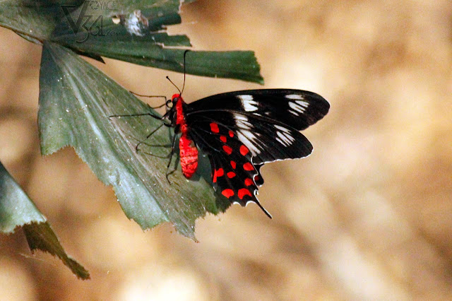 Crimson-Rose Butterfly