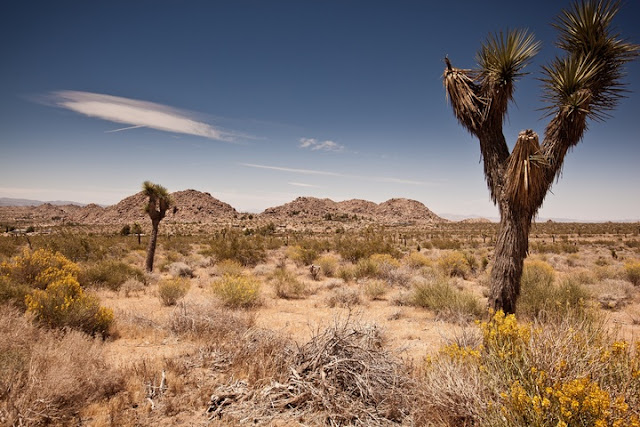 Joshua tree in the Mojave Desert
