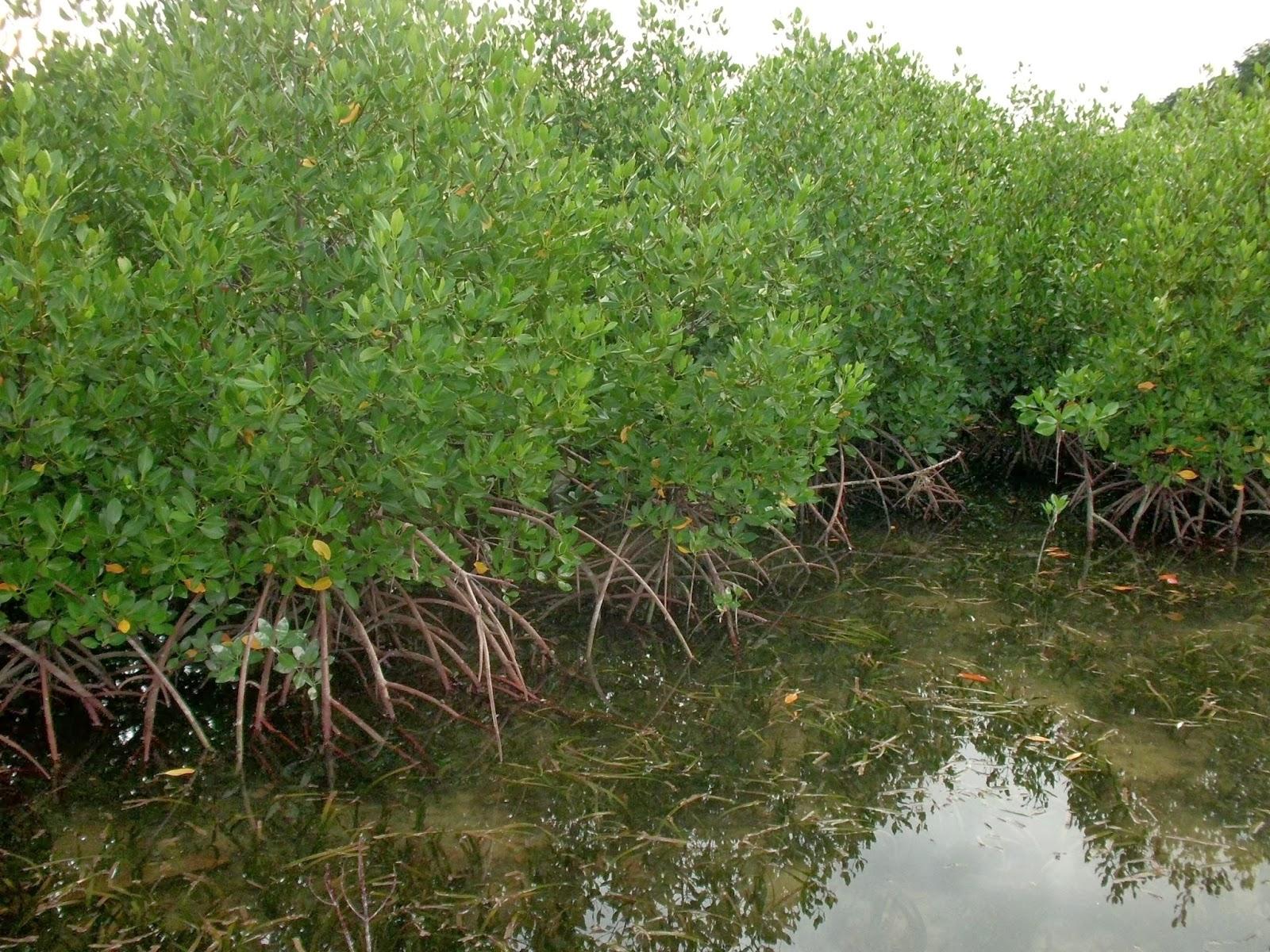 We Love Mangrove Mengapa Ekosistem Hutan Mangrove Hutan Bakau