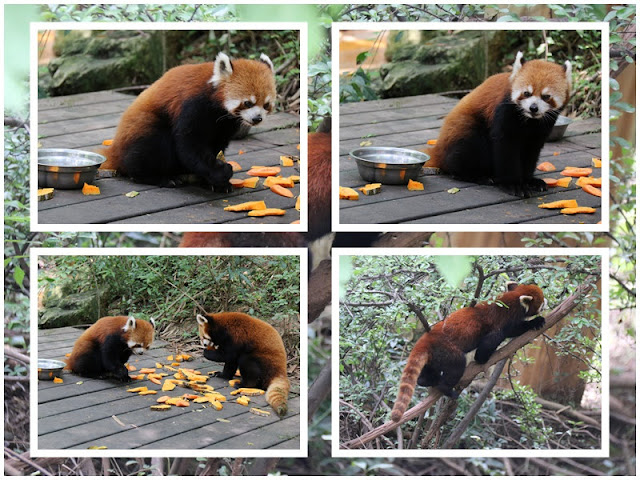 Red Panda is a smaller version of typical panda who loves climbing and sleeping on trees at Chengdu Panda Breeding Research Centre in Sichuan province of China