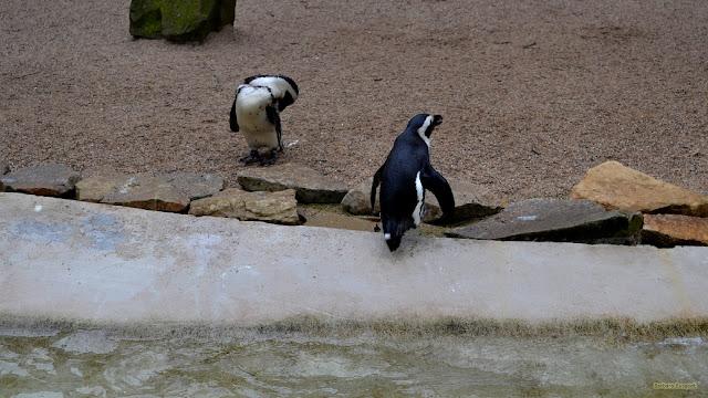 Twee pinguins bij waterkant