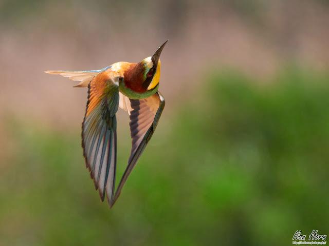 Incredible Bee-Eater
