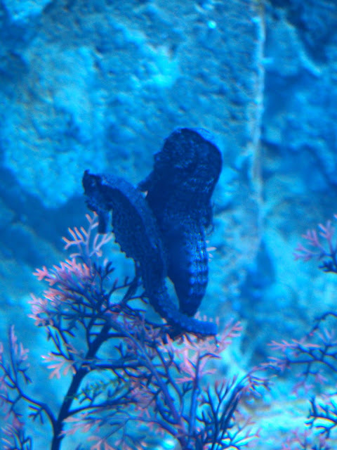 Pair of seahorses clinging to a plant in the Grand Aquarium, Ocean Park, Hong Kong