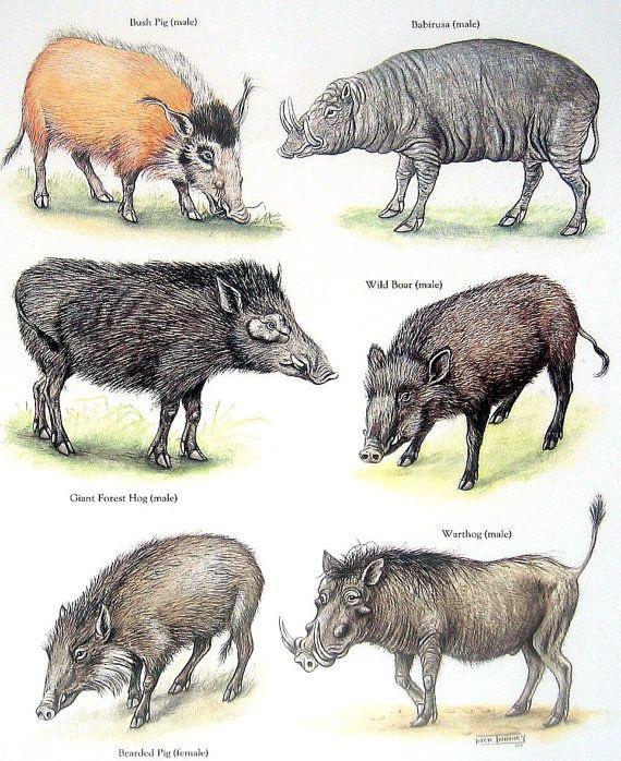 Porcos Selvagens e Javalis