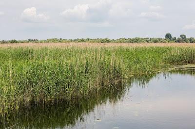 El 'senill' es planta herbácea de la familia Phragmites que crece junto al río ibero Sicano (Júcar) y la Albufera.