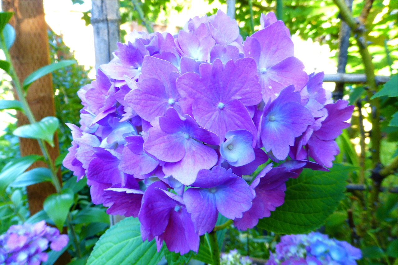 Hydrangea, Lily, Dahlia, Summer garden flowers, summer garden perennials, summer perennials to plant in your garden, gardening with summer perennials